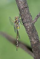 339360078 a wild female heteromorph blue-eyed darner rhionaeschna multicolor perches on a tree limb near patagonia lake state park santa cruz county arizona