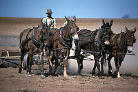 Amish farmer plows field with team of draft mules.
