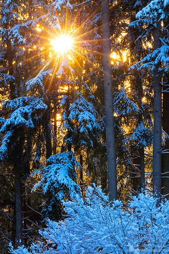 Winter Sun Through Snowy Forest