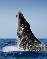 Humpback Whale, breaching, Megaptera novaeangliae, adult, Hawaii, Pacific Ocean