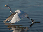 A Great Egret takes flight when scared off by Aaron Fahrmann getting a bit closer than it preferred.