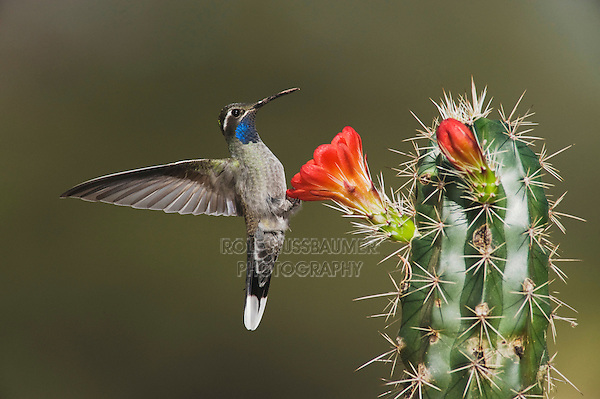 Blue-throated Hummingbird (Lampornis clemenciae), Chisos Basin, Chisos Mountains, Big Bend National Park, Chihuahuan Desert, West Texas, USA