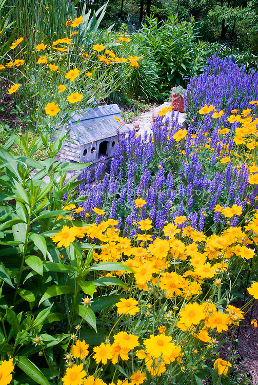 Coreopsis Sunshine Superman Salvia Blue Hill Plant