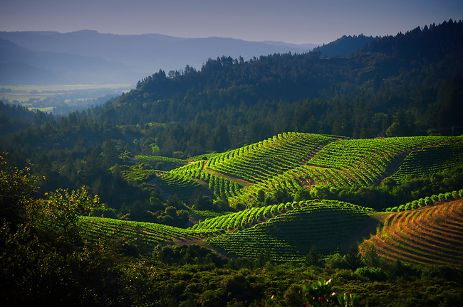 Vineyards of Diamond Mountain with Napa Valley basin in distance