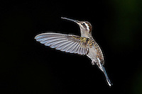 Blue-throated Hummingbird in Flight