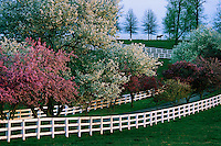 The blossoms of crab apple and cherry trees are framed by white fences.  The allure of the thoroughbred horse farm region in Kentucky is it's picturesque backdrop--almost designed to perfection like a movie set.