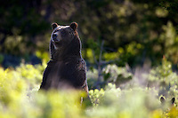 Standing Grizzly Bear, Grizzly #399 and cubs, Grand Teton National Park, Jackson Hole, Wyoming