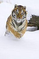 Siberian Tiger charging through the snow - CA