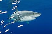 great white shark photos