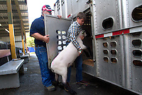 """Cody Barthels, 13, from Bear Creek School in Redmond loads his lamb named """"Juan"""" onto the trailer that will take him to slaughter. Barthels has been raising him for around 3 1/2 months. He says """"I've always wanted to raise animals. I just love animals a lot. Now I know a lot about sheep."""" Barthells says he wants to be a farmer someday. Students in the FFA and 4H programs participate in the auction of livestock including steers, lambs and hogs in the Northwest Junior Livestock Show at the Washington State Spring Fair in Puyallup, Wash. on April 19, 2015.  (photo © Karen Ducey Photography)"""