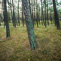 Coastal forest, Curonian Spit, Lithuania