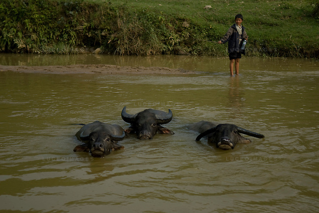 A Vietnamese boy plays with water buffalo in a minority village outside of Sapa, Vietnam.