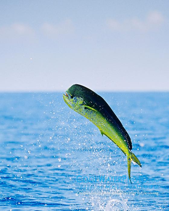 Mahi mahi bull leaping masa ushioda for Mahi mahi fish pictures