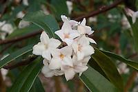 Daphne 'Spring Herald' in fragrant bloom in early spring bush