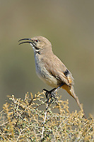 581970018 a wild lecontes thrasher toxostoma lecontei perches on a desert plant in kern county california