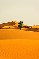 Isolated tree grows in the desert.  Dubai. United Arab Emirates.