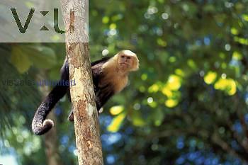 White Face Capuchin (Cebus capucinus)