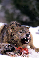 69492345 a captive gray wolf  canis lupus kays over a deer kill in a snowbank defending it by snarling at an intruder and baring its fangs in central montana