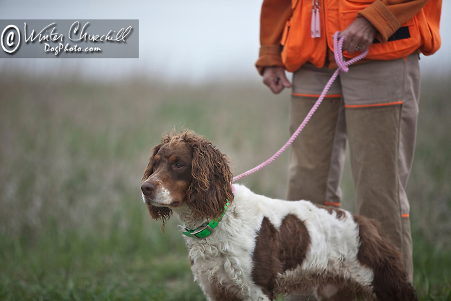 The English Springer Spaniel Shopping cart has 3 Tabs:<br /> <br /> 1) Rights-Managed downloads for Commercial Use<br /> <br /> 2) Print sizes from wallet to 20x30<br /> <br /> 3) Merchandise items like T-shirts and refrigerator magnets
