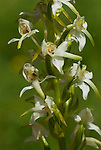 Greater Butterfly Orchid, Platanthera chlorantha, Pargate, Kent, dowland  & meadow flower, widely distributed throughout England.United Kingdom....