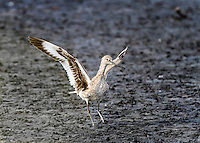 Willet taking of in flight from mudflats