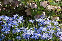 Shade plants Chionodoxa luciliae &amp; Hellebore, with a few Chionodoxa sardensis