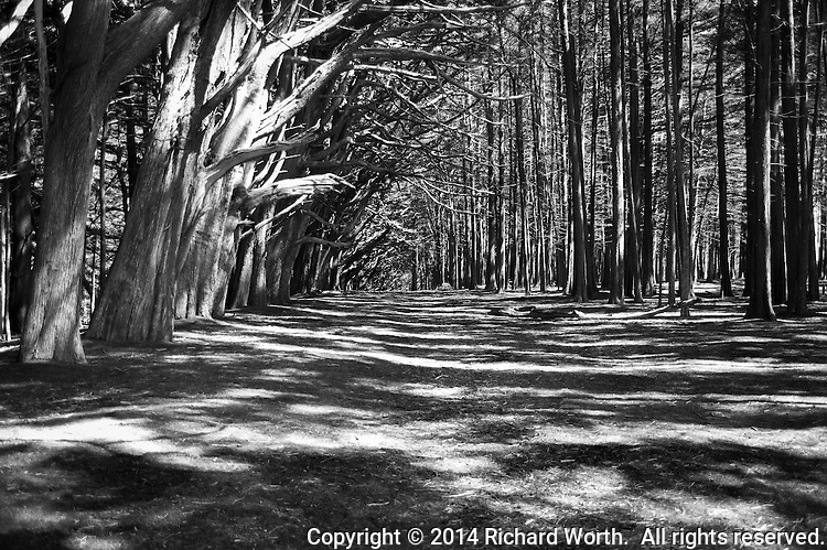 A wide tree-lined path painted with sunlight and shadows, and all rendered in black and white.  The Fitzgerald Marine Reserve at Moss Beach on the California Coast.