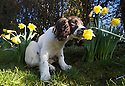 2015_02_09_PUPPY_IN_DAFFODILS