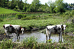 Watertown, CT- 18 May 2017-051817CM02-  A couple of cows find some water to cool off on a farm on Aunt Olive Road in Watertown on Thursday. According to the National Weather Service, Friday is expected to be mostly sunny, with a high near 84.     Christopher Massa Republican-American