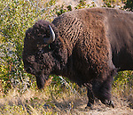 a walking bison bull