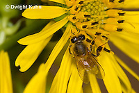1B01-526z  Honeybee at flower collecting pollen and nectar, Apis mellifera