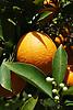 Ripe orange fruit and white blossoms<br /> <br /> Naranja madura y flores de azahar<br /> <br /> Reife Orange und wei&szlig;e Orangenbl&uuml;ten<br /> <br /> 3008 x 2000 px<br /> 150 dpi: 50,94 x 33,87 cm<br /> 300 dpi: 25,47 x 16,93 cm