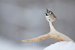 Crested tit (Parus cristatus) perched on deer antler in winter,  Cairngorms NP, Scotland.