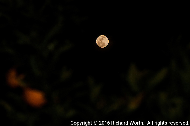 Sixteen hours away from officially being full, the Snow Moon rises behind an orange tree.