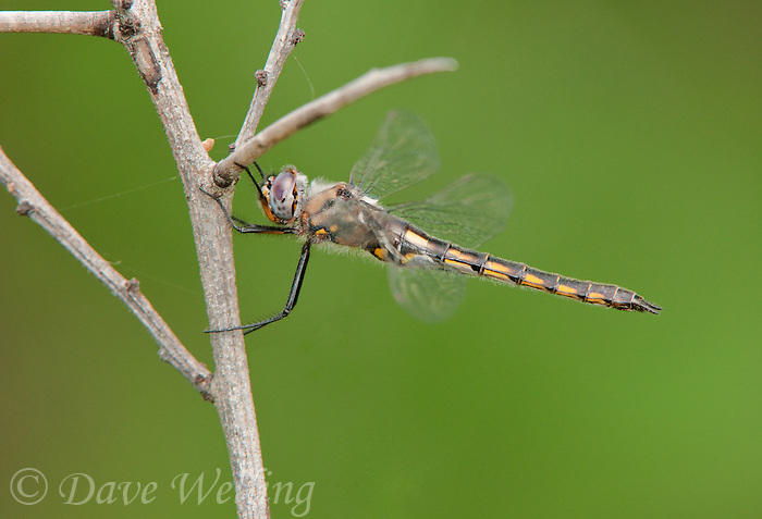 310880002 a female dot-winged dragonfly epitheca tetragoneuria petechialis perches on a dead tree limb in southeast regional park in austin texas