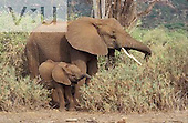 A Baby African Elephant browsing with mother. ,Loxodonta africana, Samburu National Reserve, Kenya