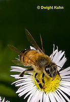 1B01-509z  Honeybee about to fly from flower, 4 wings spreading for flight, Apis mellifera