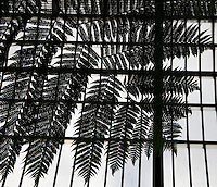 Plant History Glasshouse (formerly the Australian Glasshouse),1830s, Charles Rohault de Fleury, Jardin des Plantes, Museum National d'Histoire Naturelle, Paris, France. Detail of cyatheales showing the leaves against the glass and metal roof structure.