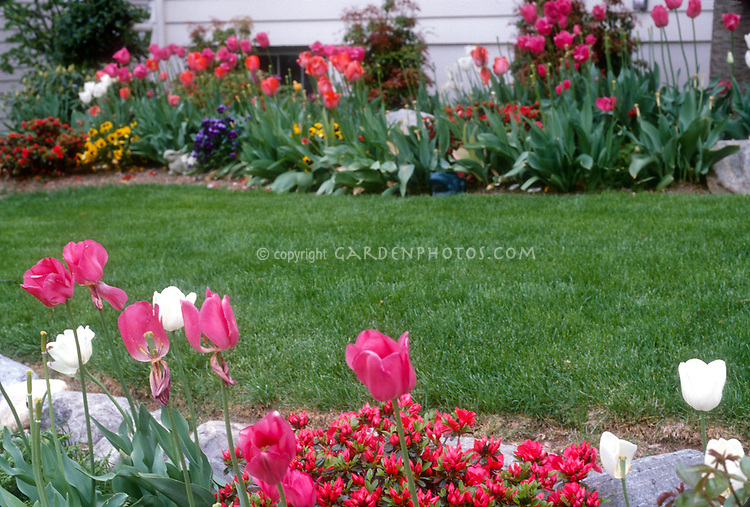 Tulips Tulipa pink and white with azalea Rhododendron and lawn grass, house, in spring garden