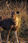Asia, India, Ranthambore. Sambar Deer.