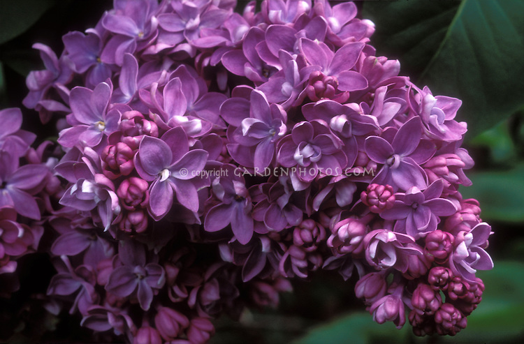 Lilac Syringa vulgaris 'Georges Bellair' in spring bloom closeup