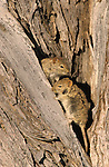 Striped mice, Rhabdomys pumilio, Kgalagadi Transfrontier Park, South Africa