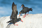 African Black Oystercatchers fighting over territorial space, Malgas Island, West Coast National Park, Western Cape, South Africa