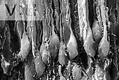 Bipolar neurons in the olfactory epithelium. Axons are seen below the cell bodies and thin dendrites and the associated sustentacular cells extend upward. SEM X1380. **On Page Credit Required**