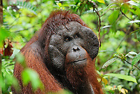 Male Borneo Orangutan head and face (Pongo pygmaeus), Camp Leaky, Tanjung Puting National Park, Kalimantan, Borneo, Indonesia.