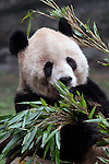 Asia, China Chongqing. Giant Panda at the Chongqing Zoo.