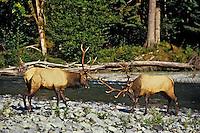Roosevelt elk bulls sparring, Olympic N.P., Washington, September