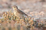 Lesser Short-toed Lark, Calandrella rufescens,Tindaya Plain, Fuerteventura, Canary Islands, Spain, on ground