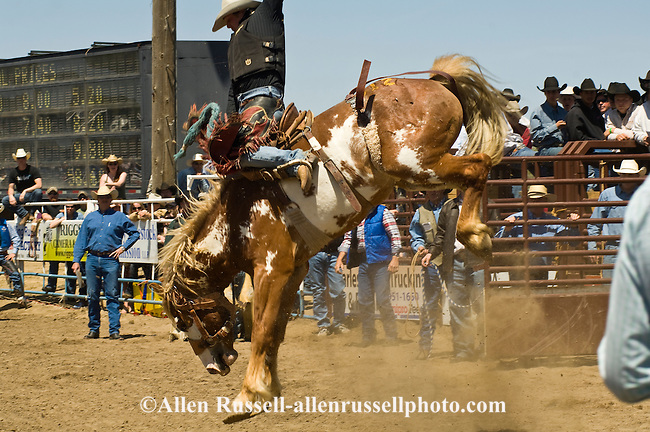 Rodeo, Saddle Bronc rider, Miles City Bucking Horse Sale, Montana.