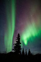 Aurora borealis and spruce trees, arctic, Alaska.
